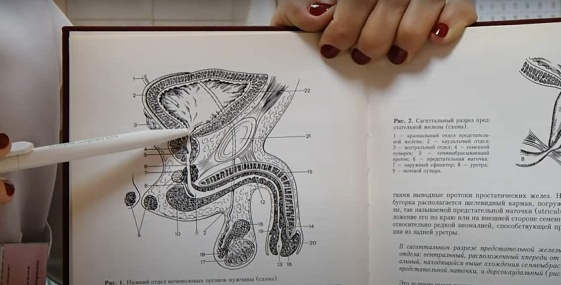 физиология эрекции